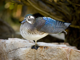 Wood Duck (Aix Sponsa) Stretching, North America Photographic Print by Tom Vezo/Minden Pictures