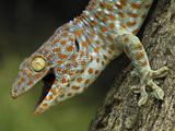 Tokay Gecko (Gekko Gecko), in Defensive Posture, Thailand Photographic Print by Thomas Marent/Minden Pictures