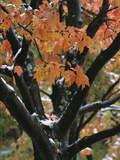 Fall Foliage of Maple Tree after an October Snowstorm Photographic Print by Tim Laman