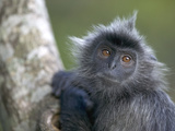 Silvered Leaf Monkey (Trachypithecus Cristatus) in Tree, Kuala Selangor A178Reserve, Malaysia Photographic Print by Cyril Ruoso