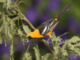 Hooded Oriole (Icterus Cucullatus) Male Perched on Branch, Rio Grande Valley, Texas Photographic Print by Tom Vezo/Minden Pictures