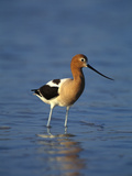 American Avocet (Recurvirostra Americana) in Breeding Plumage Wading in Water, Texas Photographic Print by Tom Vezo/Minden Pictures