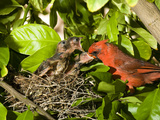 Northern Cardinal (Cardinalis Cardinalis) Father Feeding Chicks at Nest, Green Valley, Arizona Photographic Print by Tom Vezo/Minden Pictures