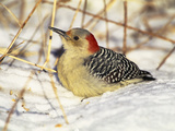 Red-Bellied Woodpecker (Melanerpes Carolinus) Resting in Snow, Long Island, New York Photographic Print by Tom Vezo/Minden Pictures