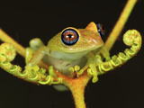 Green Bright-Eyed Frog (Boophis Viridis) on a Fern, Andasibe-Mantadia Nat'l Park, Madagascar Photographic Print by Thomas Marent/Minden Pictures