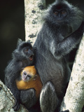 Crested Langur (Semnopithecus Cristatus) Female and Her Two Young in a Tree Photographic Print by Cyril Ruoso
