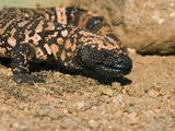Gila Monster (Heloderma Suspectum) Sonoran Desert, Arizona Fotografie-Druck von Tom Vezo/Minden Pictures