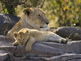 African Lion (Panthera Leo) Cub Resting on Rock with its Mother, Masai Mara Nat'l Reserve, Kenya Photographic Print by Suzi Eszterhas/Minden Pictures