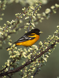 Baltimore Oriole (Icterus Galbula) Male Perching in Tree, Long Island, New York Fotografie-Druck von Tom Vezo/Minden Pictures