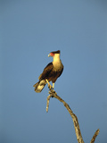 Crested Caracara (Polyborus Plancus) Perching on Branch, Rio Grande Valley, Texas Photographic Print by Tom Vezo/Minden Pictures