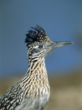 Greater Roadrunner (Geococcyx Californianus) Portrait, Green Valley, Arizona Fotografie-Druck von Tom Vezo/Minden Pictures