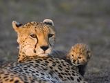 Cheetah (Acinonyx Jubatus) 8 Day Old Cub Climbing on Mother at Sunrise, Maasai Mara Reserve, Kenya Photographic Print by Suzi Eszterhas/Minden Pictures
