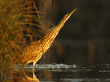 American Bittern (Botaurus Lentiginosus) Pointing Skyward, Amherst Point, Nova Scotia, Canada Photographic Print by Scott Leslie/Minden Pictures