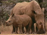 White Rhinoceros (Ceratotherium Simum) Mother with Calf, Lewa Wildlife Conservancy, Kenya Photographic Print by Gerry Ellis