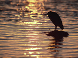 Pacific Reef Egret (Egretta Sacra) Silhouetted on Rock at Sunset, Australia Photographic Print by Gerry Ellis