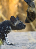 African Wild Dog (Lycaon Pictus) Adult with Six to Eight Week Old Pup, Okavango Delta, Botswana Photographic Print by Suzi Eszterhas/Minden Pictures