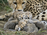 Cheetah (Acinonyx Jubatus) Cubs Curled Up Together in Nest  Maasai Mara Reserve  Kenya
