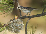 Plumbeous Vireo (Vireo Plumbeus) Parent Feeding Chicks in Nest, White Mountains, Arizona Fotografie-Druck von Tom Vezo/Minden Pictures