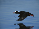 Surf Scoter (Melanitta Perspicillata) Male Flying Above Water, California Photographic Print by Tom Vezo/Minden Pictures