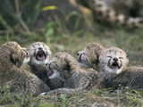 Cheetah (Acinonyx Jubatus) Five Day Old Cubs Calling for Mother, Maasai Mara Reserve, Kenya Fotografisk tryk af Suzi Eszterhas/Minden Pictures