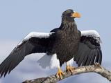 Steller's Sea Eagle (Haliaeetus Pelagicus) Sunbathing, Kamchatka, Russia Photographic Print by Sergey Gorshkov/Minden Pictures