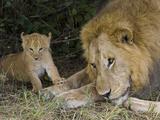 African Lion (Panthera Leo) Cub Approaches Adult Male, Masai Mara Nat'l Reserve, Kenya Fotografie-Druck von Suzi Eszterhas/Minden Pictures