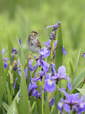 Savannah Sparrow (Passerculus Sandwichensis), Codroy Valley, Newfoundland and Labrador, Canada Photographic Print by Scott Leslie/Minden Pictures