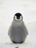 Emperor Penguin (Aptenodytes Forsteri) Chick, Antarctica Photographic Print by Konrad Wothe