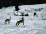 Coyote (Canis Latrans) Pair Howling at Dusk, Yellowstone National Park, Wyoming Photographic Print by Michael S. Quinton