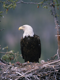 Bald Eagle (Haliaeetus Leucocephalus) on Nest with Chick and Fresh Kill, Alaska Photographic Print by Michael S. Quinton