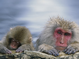 Japanese Macaque (Macaca Fuscata) Mother and Juvenile, Joshinetsu Plateau Nat'l Park, Japan Photographic Print by Ingo Arndt/Minden Pictures