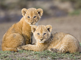 African Lion (Panthera Leo) Four to Five Week Old Cubs, Vulnerable, Masai Mara Nat'l Reserve, Kenya Fotografie-Druck von Suzi Eszterhas/Minden Pictures