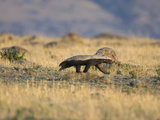 Honey Badger (Mellivora Capensis) Walking Through Grassland, Masai Mara, Kenya Photographic Print by Suzi Eszterhas/Minden Pictures