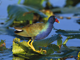 Purple Gallinule (Porphyrio Martinicus) Standing on Lily Pads, Everglades Nat'l Park, Florida Photographic Print by Tom Vezo/Minden Pictures