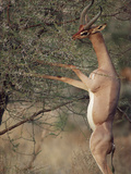 Gerenuk or Waller's Gazelle (Litocranius Walleri) Feeding in Thornbush Photographic Print by Gerry Ellis