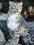 Snow Leopard (Uncia Uncia), Woodland Park Zoo, Seattle, Washington Photographic Print by Gerry Ellis