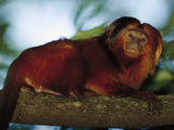 Golden Lion Tamarin (Leontopithecus Rosalia) in Tree, Atlantic Forest, Ilheus, Bahia, Brazil Photographic Print by Mark Moffett