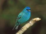 Indigo Bunting (Passerina Cyanea) Male, Rio Grande Valley, Texas Photographic Print by Tom Vezo/Minden Pictures