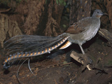 Superb Lyrebird (Menura Novaehollandiae) Male, Yarra Ranges Nat&#39;l Park, Australia Photographic Print by Theo Allofs/Minden Pictures