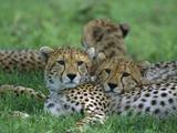 Cheetah (Acinonyx Jubatus) Older Cubs, Ngorongoro Conservation Area, Tanzania, East Africa Photographic Print by Suzi Eszterhas/Minden Pictures