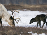 Caribou (Rangifer Tarandus) Mother and Calf, Kamchatka, Russia Photographic Print by Sergey Gorshkov/Minden Pictures