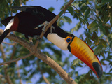 Toco Toucan (Ramphastos Toco) in Tree, Northern Pantanal, Brazil Photographic Print by Theo Allofs/Minden Pictures