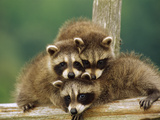 Raccoon (Procyon Lotor) Three Orphan Babies, Aspen Valley, Ontario Photographic Print by Gerry Ellis