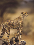 Cheetah (Acinonyx Jubatus) Mother With, Adolescents, Samburu National Reserve, Kenya Lmina fotogrfica por Gerry Ellis