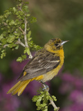 Baltimore Oriole (Icterus Galbula) Juvenile Male Perched on a Branch, Rio Grande Valley, Texas Photographic Print by Tom Vezo/Minden Pictures