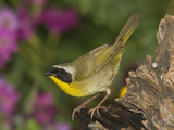 Common Yellowthroat (Geothlypis Trichas) Female Portrait, Rio Grande Valley, Texas Photographic Print by Tom Vezo/Minden Pictures