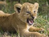 African Lion (PantheraLeo) 6 to 7 Week Old Cub Yawning, Vulnerable, Masai Mara Nat'l Reserve, Kenya Fotografie-Druck von Suzi Eszterhas/Minden Pictures