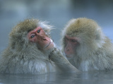 Japanese Macaque (Macaca Fuscata) Pair Grooming in Hot Spring, Joshinetsu Plateau Nat'l Park, Japan Fotografisk tryk af Ingo Arndt/Minden Pictures