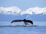 Humpback Whale (Megaptera Novaeangliae) Tail Against Snowy Mountains, Alaska Photographic Print by Konrad Wothe