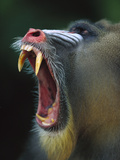 Mandrill (Mandrillus Sphinx) Adult Male Vocalizing Showing Huge Canine Teeth, Gabon Fotografiskt tryck av Cyril Ruoso